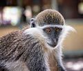Grivet Monkey, Ethiopia (14570408504).jpg
