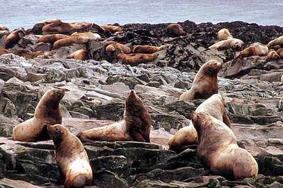 Group of steller sea lions near sea coast.jpg