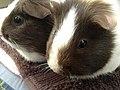 Guinea pigs 8.jpg