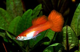 Guppy red male.jpg