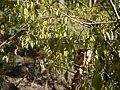 Gymnosporia konkanensis (13062110103).jpg