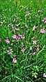 Hässeler Weiher von Neuenhaßlau - Rosa Blumen.jpg