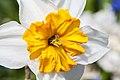 Híbrida de Narcissus 'Barret Browning', Jardín Botánico de Múnich, Alemania, 2013-05-04, DD 02.jpg