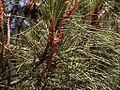 H20130601-8535—Pinus attenuata—Walker Ridge (9230823315).jpg