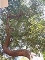 HK CWB 銅鑼灣 Causeway Bay 維多利亞公園 Victoria Park tree trunk n green leaves December 2019 SSG 11.jpg