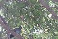 HK CWB 高士威道 Causeway Bay Road 維多利亞公園 Victoria Park tree Sept 2017 IX1 蒲桃 Syzygium jambos 03.jpg