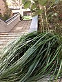 HK SYP Sai Ying Pun 第三街 Third Street stairs n green leaves January 2021 SS2.jpg