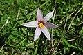 Habranthus versicolor- Soriano, Palmar, Claro del bosque ribereño al margen del Río Negro 2.jpg