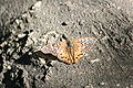 Hackberry Emperor (Asterocampa celtis) (1).jpg