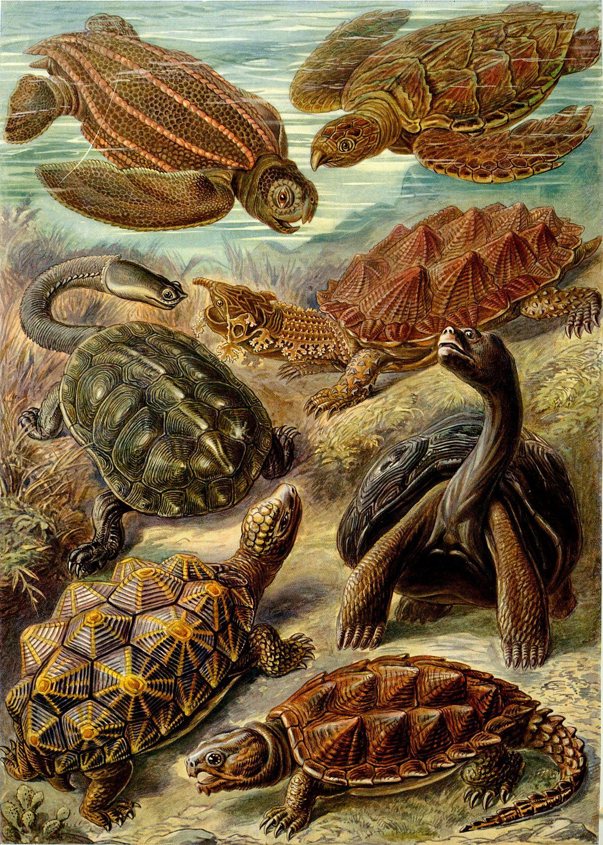 hur gammal kan en sköldpadda bli