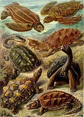 Fanciful drawing showing seven turtles, with a variety of carapaces and body shapes
