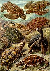 Żółwie z Kunstformen der Natur Ernsta Haeckla, 1904