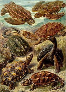 fra Kunstformen der Natur Ernst Haeckel (1904)