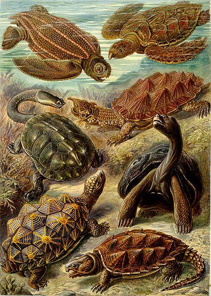 Ficheiro:Haeckel Chelonia.jpg