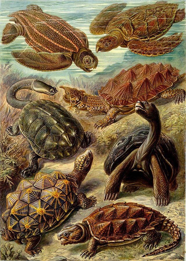 Eretmochelys imbricata - Wikiwand