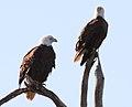 Haliaeetus leucocephalus (Bald Eagle) 04.jpg