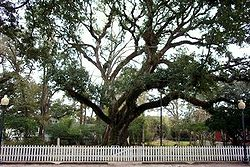 The Hammond Oak, located in the 500 block of East Charles Street: The grave of founder Peter av Hammerdal (Peter Hammond) is under this tree.