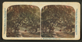 Hanging moss, Daytona, Florida, from Robert N. Dennis collection of stereoscopic views.png