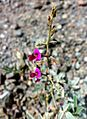 Hatta west UAE 1401200712896 Tephrosia apollinea.jpg
