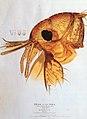 Head of the Flea (Lens Aldous).jpg
