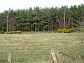 Heather Plantation - geograph.org.uk - 157115.jpg