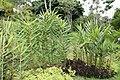 Hedychium coccineum 1zz.jpg