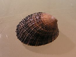 Helcion pectunculus 002