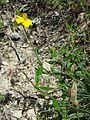 Helianthemum nummularium subsp. obscurum sl9.jpg