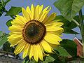 Helianthus annuus, Sonnenblume.jpg