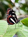 Heliconius atthis (Nymphalidae- Heliconiinae- Heliconiini) (29196528093).jpg