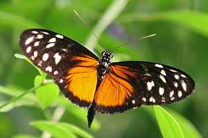 Heliconius - Tiger longwing (Heliconius hecale)