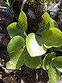 Hepatica nobilis (Ranunculaceae) 03.jpg