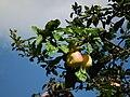 Herbst ist Apfelzeit.JPG