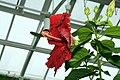 Hibiscus rosa-sinensis Kiss And Tell 2zz.jpg