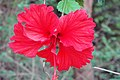 Hibiscus rosa-sinensis is one of the commons flower
