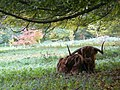 Highland bull near Foulis Castle - geograph.org.uk - 1019651.jpg