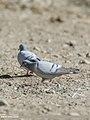 Hill Pigeon (Columba rupestris) (48051399682).jpg