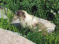 Hoary marmot, Marmota caligata - Flickr - GregTheBusker (1).jpg