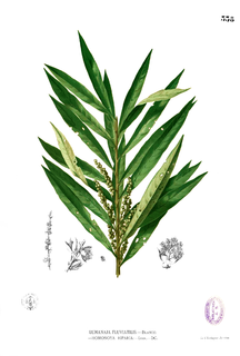 <i>Homonoia</i> (plant) genus of plants