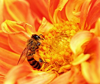 Africanized bee - An African bee extracts nectar from a flower as pollen grains stick to its body in Tanzania. (This is a purebred African bee, not an 'Africanized' hybrid bee.)