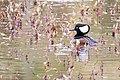 Hooded Merganser -84 100- (38192587562).jpg