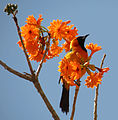 Hooded Oriole (16010757793).jpg