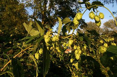 Hopfen (Humulus) Nationalpark Donau-Auen Orth an der Donau 2012 b.jpg