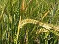 Horedum vulgare (3819802664).jpg