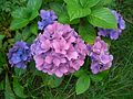 Hortensien dunkel blau.jpg