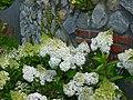 Hortensja bukietowa. (Hydrangea paniculata). 04.jpg