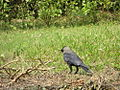 House Crow collecting twigs.JPG
