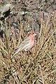 House Finch (Haemorhous mexicanus) - Simcoe, Ontario 02.jpg