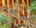 House Sparrow Passer domesticus by Raju Kasambe DSCN2160 (1) 05.jpg