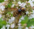 Hover Fly. Volucella inanis - Flickr - gailhampshire.jpg